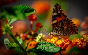 Picture macro, flowers, butterfly, bokeh, The painted lady