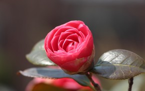 Picture leaves, grey background, pink Camellia