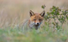 Picture grass, look, nature, pose, Bush, portrait, baby, Fox, red, face, bokeh, Fox