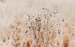 Picture grass, nature, plant, dry