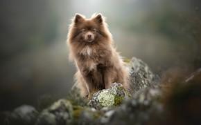 Picture stones, background, dog, bokeh, doggie, Spitz