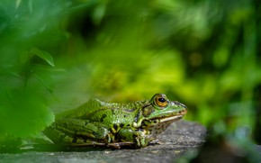 Picture background, frog, green, bokeh