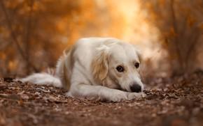 Picture autumn, look, leaves, nature, pose, Park, background, foliage, dog, paws, lies, white, Labrador, Retriever