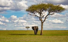 Picture field, tree, elephant, Savannah, Africa, walk