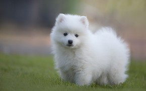 Picture white, grass, look, glade, dog, puppy, white, face, lawn, Spitz