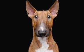 Picture portrait, dog, black background, bull Terrier, the dark background