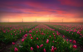 Picture field, the sky, sunset, tulips, Albert Dros