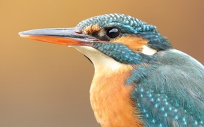 Picture look, orange, close-up, background, blue, bird, portrait, beak, bird, face, Kingfisher, bright plumage, bird