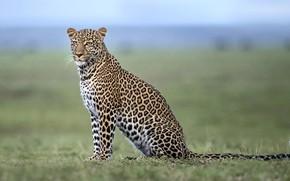Picture leopard, Savannah, Africa, leopard, Africa, savannah