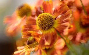 Picture flower, nature, bokeh, macro flowers nature, summer cottage