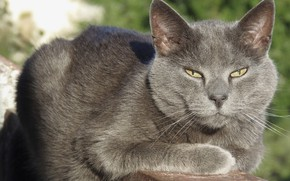 Picture cat, grey cat, cat on the balcony, adult cat