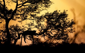 Picture sunset, branches, tree, the evening, silhouette, leopard