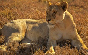 Picture grass, look, face, pose, stay, glade, lies, lioness