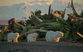 Picture family, Alaska, USA, polar bear, The Arctic national reserve, Arctic National Wildlife Refuge