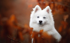 Picture look, portrait, dog, face, bokeh, Samoyed