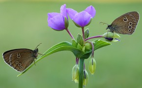 Picture macro, butterfly, flowers, insects, green, background, butterfly, two, pair, a couple, brown, Duo, lilac, two …