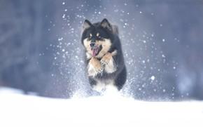 Picture winter, snow, dog, Malamute