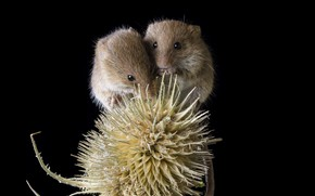 Picture mouse, a couple, thorn, crumbs