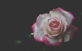 Picture background, rose, petals