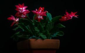 Picture drops, flowers, cactus, black background, © candice Staver harris