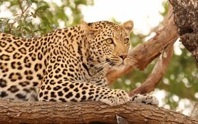Picture cat, nature, tree, predator, leopard, hunting