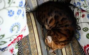 Picture cat, cat, comfort, sofa, pillow, sleeping, lies, Bengal, curled up