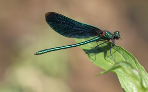 Picture macro, background, leaf, dragonfly