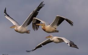 Picture birds, flight, pelicans, DUELL ©