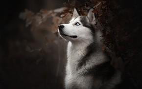 Picture face, portrait, dog, bokeh, Husky