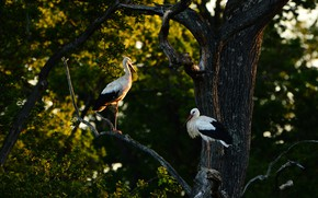 Picture forest, trees, birds, branches, the dark background, two, pair, stork, storks, two stork