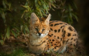 Picture look, leaves, nature, lies, wild cat, Serval
