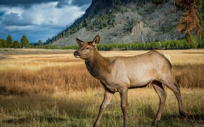 Picture mountains, nature, pose, deer, is, fawn, fawn