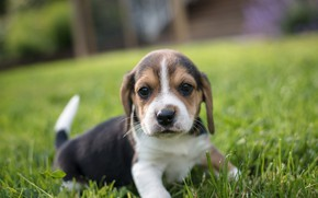 Picture grass, look, baby, puppy, face, doggie, Beagle