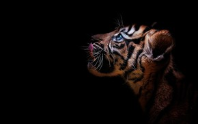 Wallpaper look, tiger, portrait, profile, cub, kitty, face, wild cat, black background, tiger
