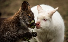Picture white, look, face, leaves, pose, sprig, grey, background, two, portrait, kangaroo, pair, a couple, Duo, ...