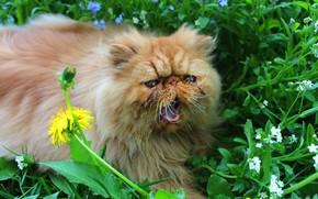 Picture greens, language, cat, flower, cat, mustache, look, face, leaves, flowers, yellow, nature, pose, dandelion, glade, …