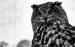 Picture Owl, Birds, Wild, Owl, Bird, Black and white, Black And White, by Brett Sayles, Brett …