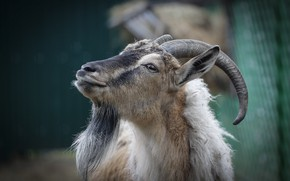Picture look, background, goat