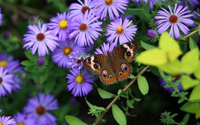 Picture Flowers, Butterfly, Leaves, Petals, Asters, Stems