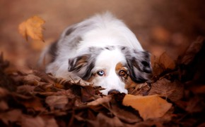 Picture sadness, autumn, look, face, leaves, nature, background, mood, foliage, portrait, dog, lies, white, different eyes, …