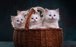 Picture look, the dark background, kitty, basket, kittens, white, kitty, basket, cuties, a lot, Quartet, four, …