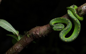 Picture look, pose, snake, branch, black background, green, reptile
