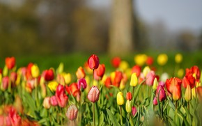 Picture tulips, buds, a lot, bokeh
