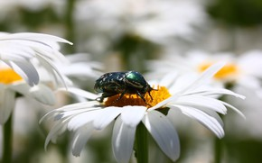 Picture flowers, background, chamomile, beetle