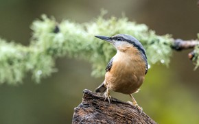 Picture bird, snag, bokeh, nuthatch