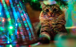 Picture cat, cat, look, face, light, branches, pose, Christmas, New year, lies, tree, basket, needles, garland, …