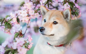 Picture look, face, flowers, branches, portrait, dog, spring, puppy, pink, flowering, bokeh, сиба ину