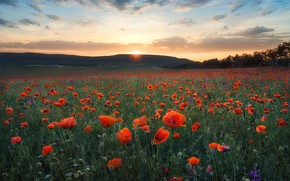 Picture the sun, clouds, sunset, flowers, mountains, Maki, red, poppy field