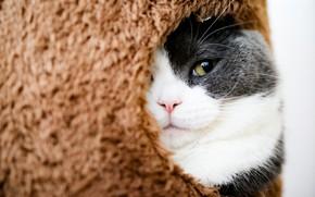 Picture cat, cat, look, face, grey, fur, Kote, Peeps, St., cat house