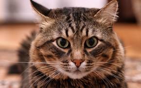 Picture cat, mustache, cats, striped Siberian, photographer Alexander butchers